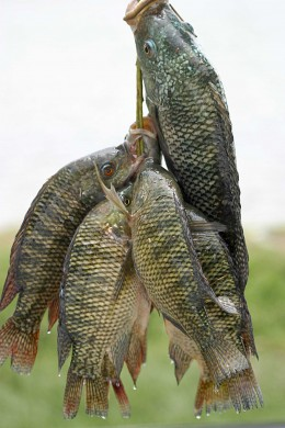 Tilapia is almost every where now. Notice how clear and bright the fishes eyes are in this photo.