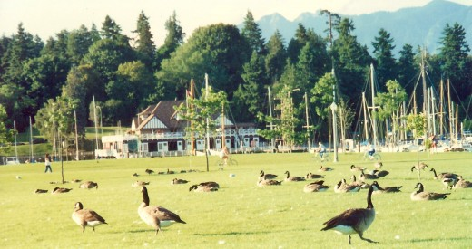 Many Canadian geese