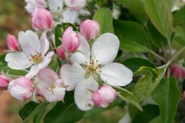 Apple Blossoms,  from allenbecker.gardenguru