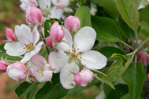 Apple Blossoms,  from allenbecker.gardenguru