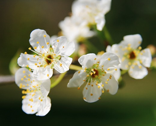 Cherry Blossoms, copyright by Gabriel Robledo