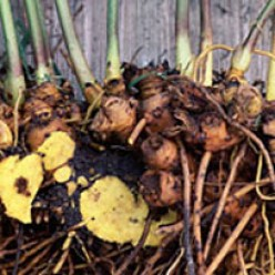 Goldenseal Roots are used in tincture and powder forms, or blended into a salve.