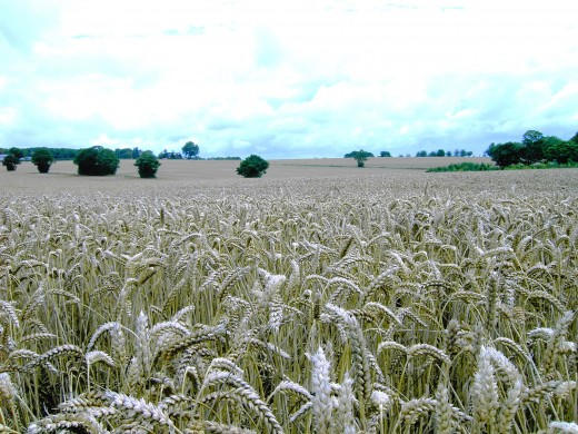 GOLDEN FIELDS OF CEREALS.PHOTOGRAPH BY D.A.L.