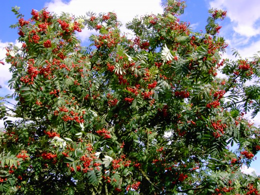 The trees and hedgerows are heavy with fruit this Rowan tree is a fine example.Photograph by D.A.L