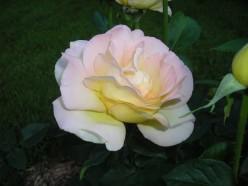 Rose Pruning Tips For Hybrid Teas, Floribundas, & Grandiflora Roses