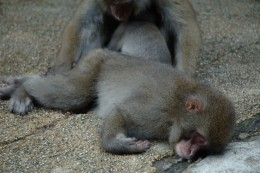 Japanese Macaques taking a nap Image Credit: Wikipedia