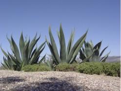 What Is Aloe Vera