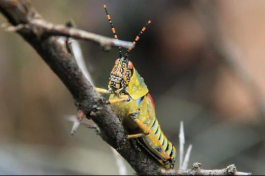 40D at 200mm : Shot on safari in Kruger National Park, South Africa. A nice close-up shot considering that I leaned out of the SUV and this colorful grasshopper, covered in morning dew, was near the ground (you do not leave the vehicle during a safar