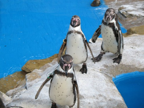 Put the freeze on crooks! Courtesy http://www.publicdomainpictures.net/view-image.php?image=127&picture=three-penquins