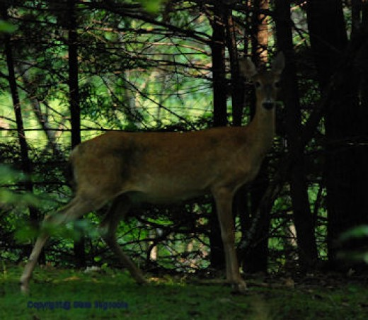 A doe momentarily paused this morning to eye me as I prepared to make the photo. One shot and she was gone.