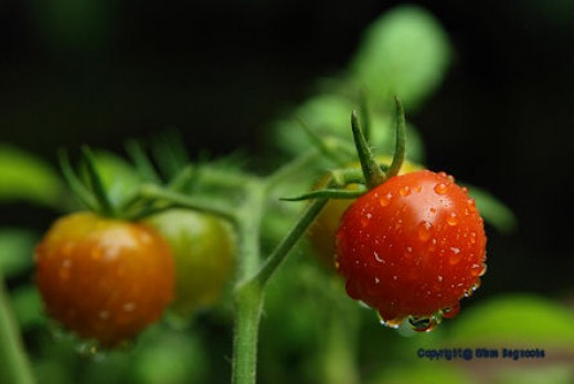 Ripening cherry tomatoes glisten with moisture before the sun has risen to dry them.