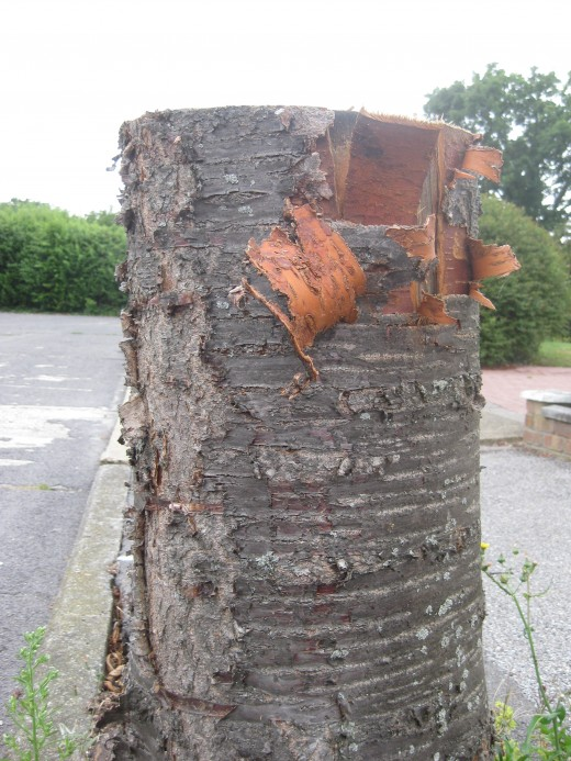 One of the tree stumps in Oakwood Drive. There are twelve of these altogether.