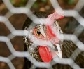 Chicken Facts (part two)