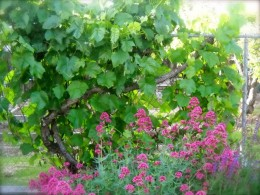 Grapes on the fence make a beautiful backdrop for flowers.
