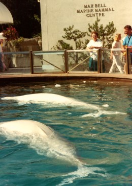 Belugas with ice floating in their pool after a performance
