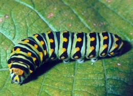 Caterpillar will transform into a beautiful butterfly