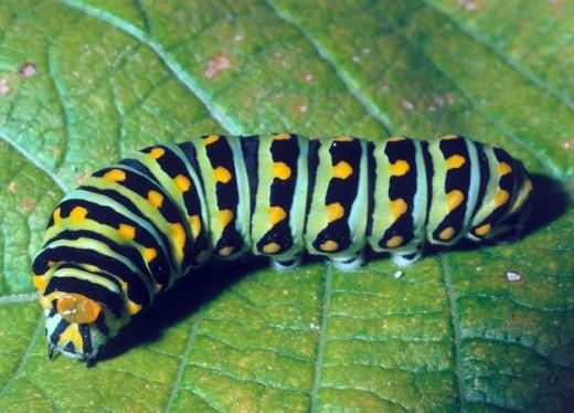Caterpillar will transform into a beautiful butterfly