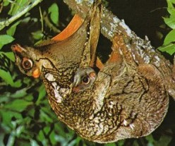 Mother Colugo carry their offspring on their belly as they hang from branches.
