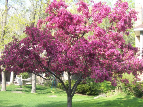 Crab-Apple Tree Next Door