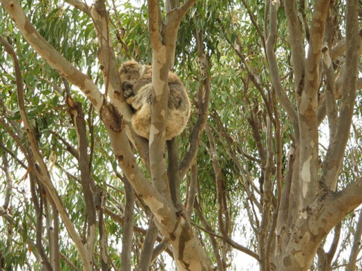 A Koala having a nice sleep in a Gum Tree.... Photo by Agvulpes