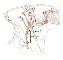 Lymph Node placement~Lymph Chain