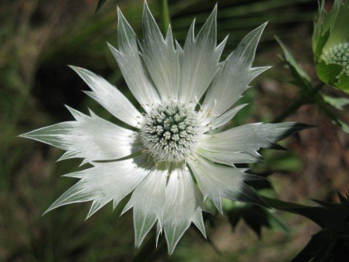 Mexican Thistle - Eryngium lemmonii Wild Flower, Silver White Chiricahua Mountain Eryngo, is a forb/herb (a forb/herb is a non-woody plant that is not a grass) of the genus Eryngium.