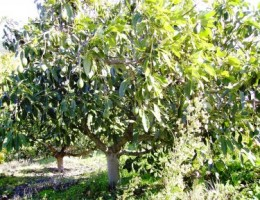 An Avocado tree in Andalusia, Southern Spain