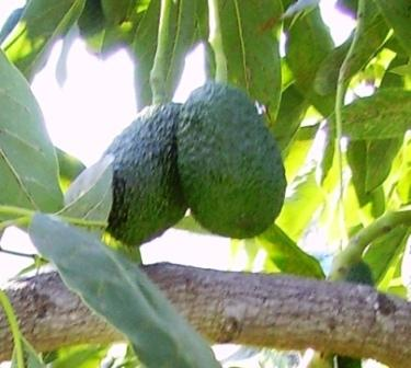 "Avocado is also known as 'Testis Fruit"" because of the similarity with a man's balls - when the fruit is hanging in pairs - close together."