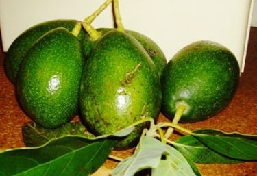 Fuerte is the Avocado with the smooth skin.