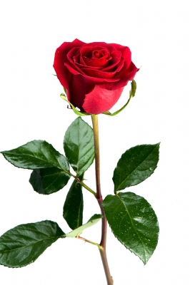 Never remove the thorns from rose stems.