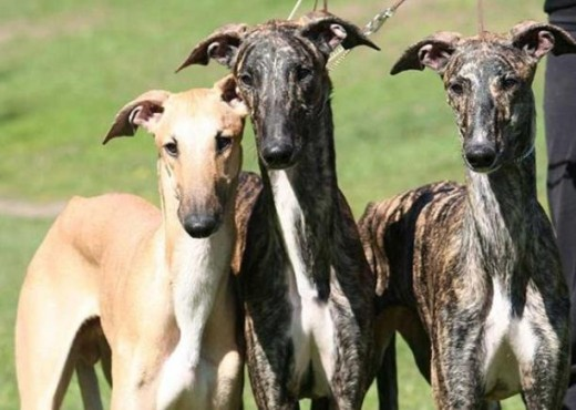 Spanish Greyhound 3