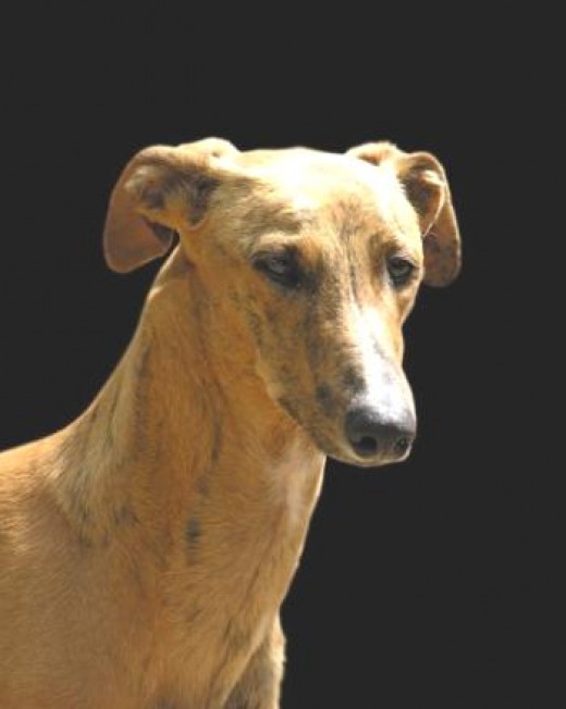 Spanish Greyhound 7