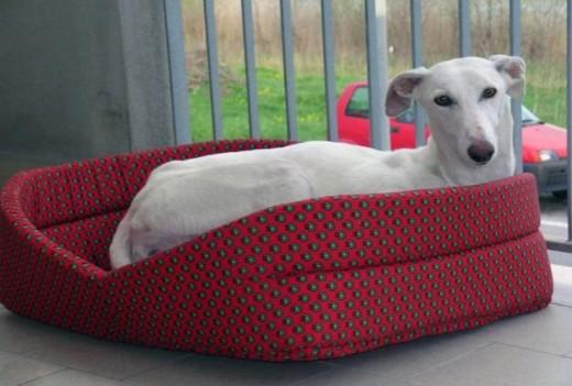 Spanish Greyhound 9