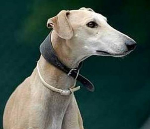 Spanish Greyhound 13