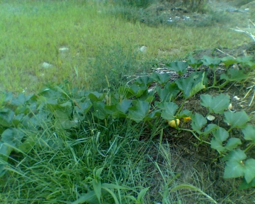 Pumpkin patch growing out of a compost pile