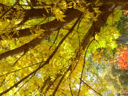 Sunshine through yellow leaves