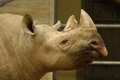 A Very Special Black Rhinoceros