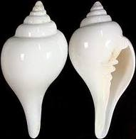 A typical and rare white conch shell