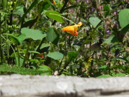Touch-me-not, Spotted Jewelweed   Darlene Yager