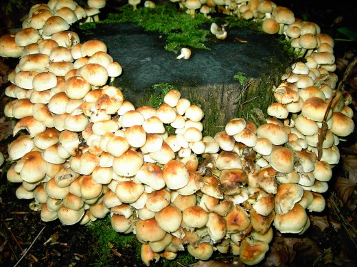 Growing on dead wood. photograph by D.A.L.