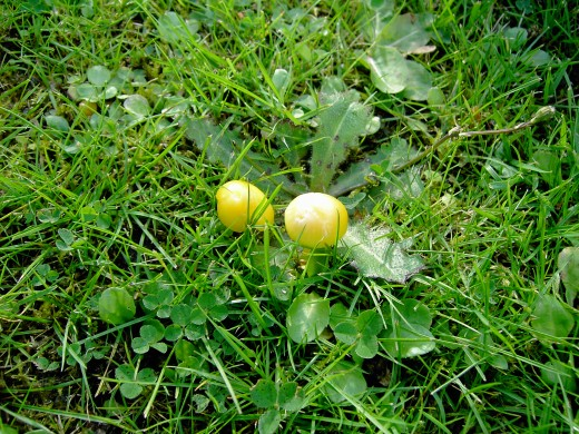 Grassland this fungi was growing near cat's ear foliage. Photograph by D.A.L.