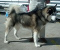 Funny Dog Story: Here's Your Sign, Comebacks From A Malamute Owner