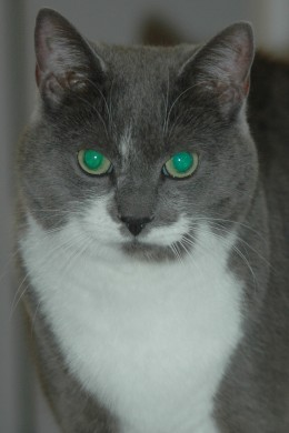 A beautiful grey and white cat adopted from a local shelter.