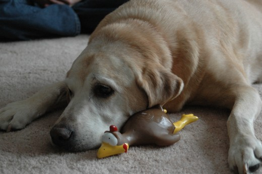 Golden Lab with rubber chicken.