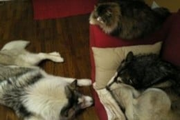 Therapy dogs are laid back and can get along with other animals, even cats.