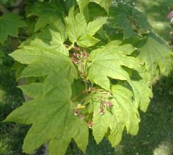 Maple Trees as a Source of Food