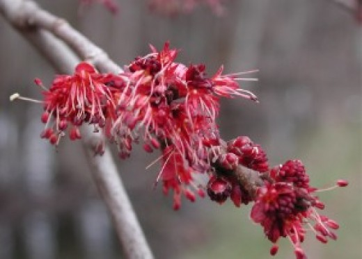 Many maples produce flowers and from these will come the seeds. There is even a flowing maple that produces rather beautiful red and white variegated flowers.