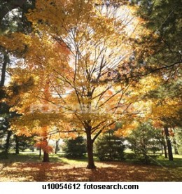 Here is a maple in fall showing yellow and red.