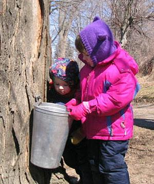 Here is how maple sap is collected in the first step to make syrup.