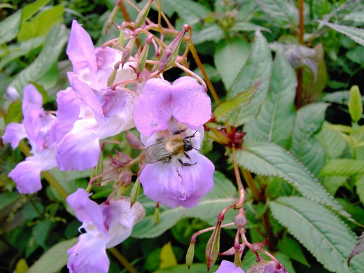 Bees are attracted to the plant because they are a rich source of nectar. Photograph by D.A.L.
